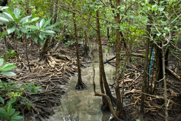 Mangrove forest in Pred Nai, Thailand