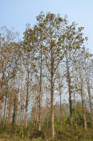 Teak trees in Bokeo, Laos