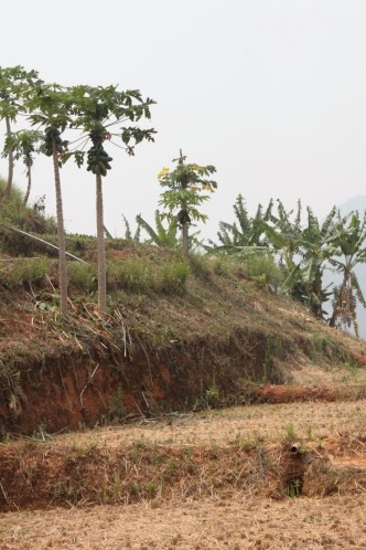 Papaya trees planted alongside terraced rice paddies in Ban Pang Yang, Nan Province, Thailand (Photo credit: Lena Buell)