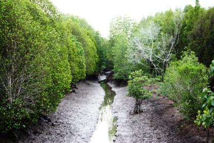 Pred Nai, Trat, mangrove forest.