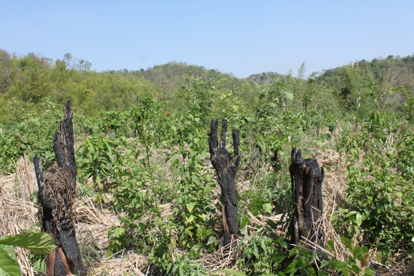The after affects of the swidden practices employed by this community can be seen not only in the charred remains, but also through the very evident fertility of the soil, in which rice, chilies, tomatoes and other nourishing plants were growing at every turn.