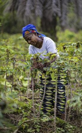 Cassava farming, DRC (Courtesy Ollivier Girard, CIFOR, 2012)