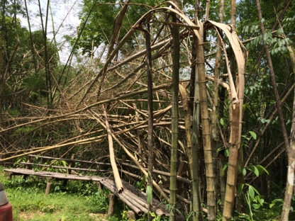 Dead bamboo which fuels forest fires