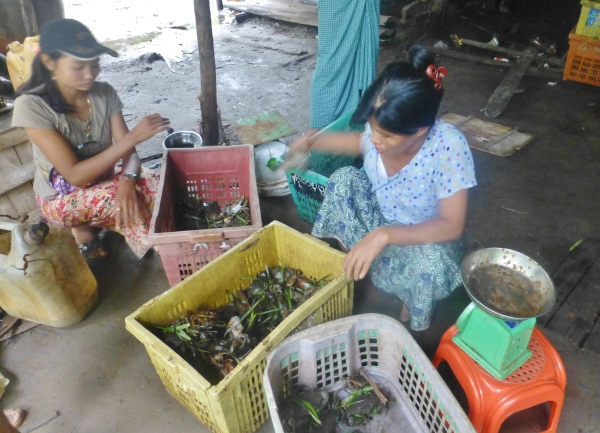 Sorting crab according to size for trade