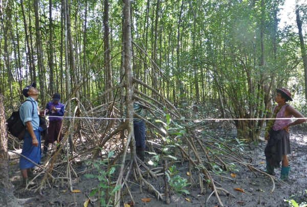 Taking measurments in a mangrove plantation